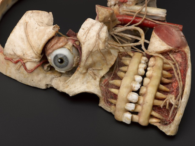 Wax anatomical model of female human head showing internal structure of skull, German(?), 19th century.  Detail view of object against dark grey background.