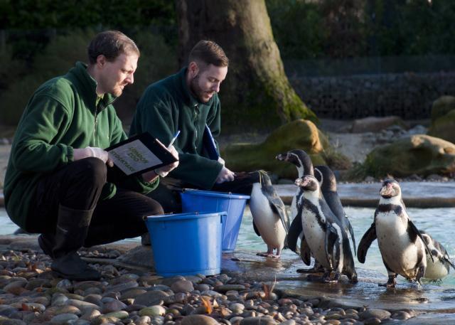 Dinner time. A Rockhopper penguin gets a fish