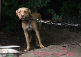 chained-dog