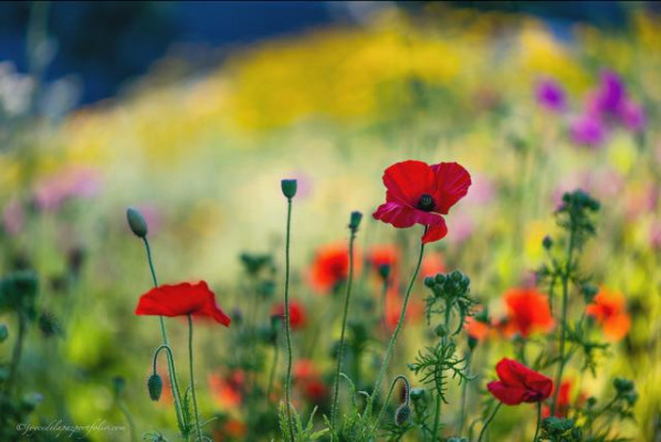poppies_190614