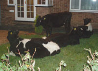 Squatting Cows Enliven Slow News Day