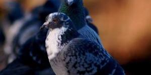Pigeons Fetch Good Price
