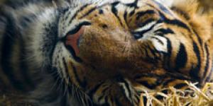Tiger, Tiger Gets Paws On West End Nightlife
