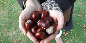 Conkers At The Ready