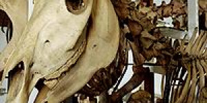 From The Grant Museum: The Mystery Of The Quagga's Leg