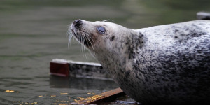 In Pictures: Tower Bridge Seal Sunbathes At St Saviour's Dock