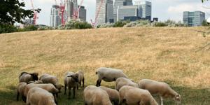 Today: Sheep Meet In Savile Row