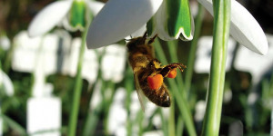 Event Preview: Snowdrop Days @ the Chelsea Physic Garden