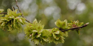 Help Bring Elm Trees Back To London