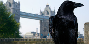 Tower Of London Ravens Killed By Fox