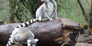 ZSL London Zoo Announces Walkthrough Lemur Enclosure