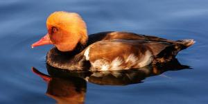 London Short Fiction: The Wishing Duck Of Regent's Park