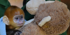 """In Pictures: Baby Monkey """"Flame"""" at London Zoo"""
