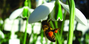 Preview: Snowdrop Days @ Chelsea Physic Garden