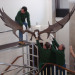 Technicians attempt to rehang the beast. (C) UCL, Grant Museum of Zoology.