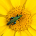 Thick-legged flower beetle {Oedemera nobilis} on corn marigold {Chrysanthemum segetum}, Crantock, Cornwall.