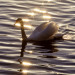 Swan on the Thames at Hampton Court by davebass5