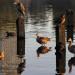 Bayswater ducks, geese and heron by Howard Ferrier