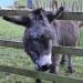 Hackney City Farm donkey by McTumshie