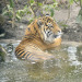 The three-year-old Jae Jae takes a dip in his new pool. © ZSL