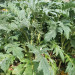 Cardoon: ideal for soups and stews.