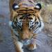 Melati, mother of London Zoo's tiger cubs, by Shifiku.