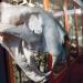 Tigriskoponya tiger skull by Gábor Hernádi at Grant Museum of Zoology